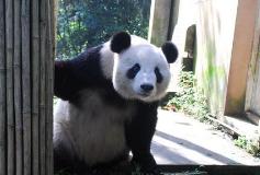 """因 国宝""""大熊猫""""被抢注成汽车商标 500万拍卖狂赚5000倍!"""